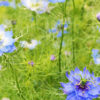 Nigella Sativa - The missing spice in your kitchen